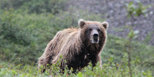 The diversity wildlife is one of the major draws of Denali