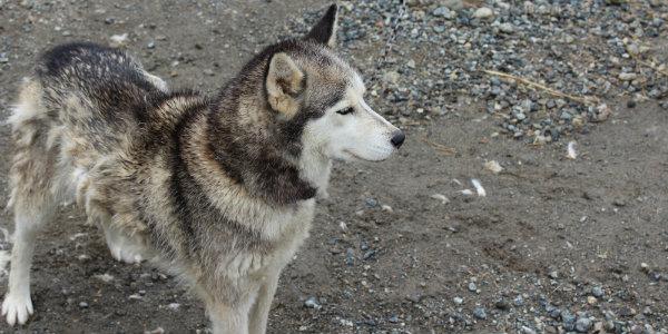 An Iditarod Husky looks ready for his next run!