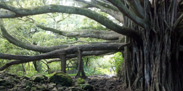 MauiBanyanTreeEdit