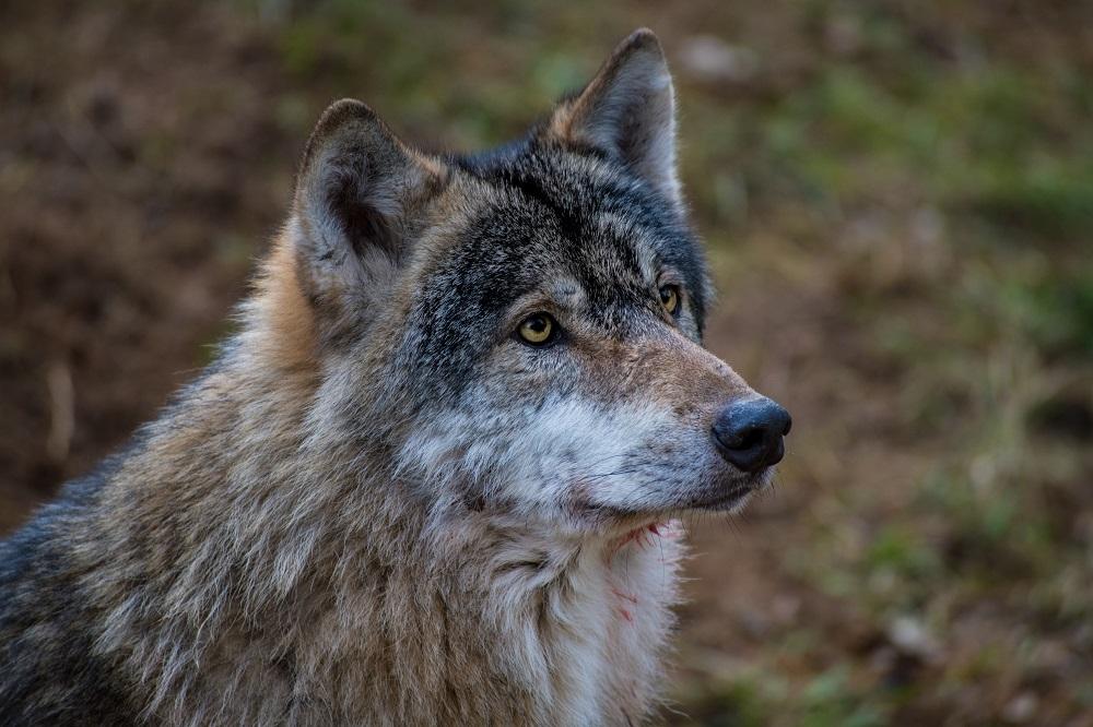 Wolf, Porträt, In Natürlicher Umgebung